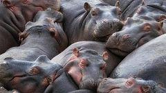 Animales al natural - Hipopótamos y rinocerontes