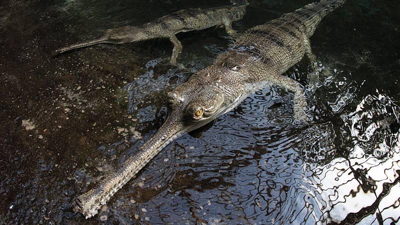 Somos documentales - Dinosaurios Modernos. Los gaviales del Parque nacional de Chitwan - ver ahora