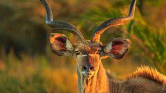 Animales al natural - Antílopes