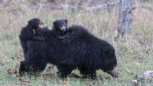 Sin tiempo para la pereza: Los osos bezudos de Sri Lanka