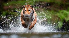Animales al natural - Grandes felinos