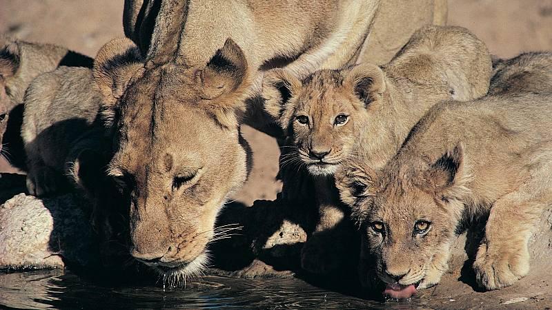 Somos documentales - Los leones del Kalahari - ver ahora