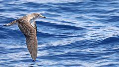 España Directo - Descubriendo la pardela balear en el islote de La Dragonera