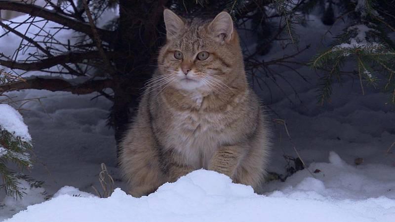 Somos documentales - Pequeños felinos, grandes personalidades - ver ahora