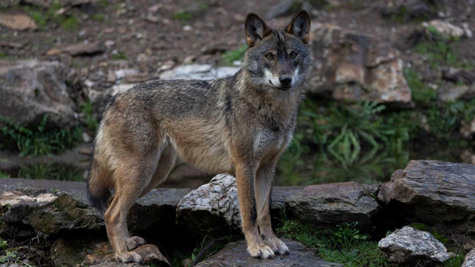 La protección del lobo en España: un grupo de investigadores trabaja para censarlo
