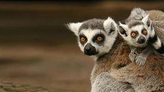 Somos documentales - Lémures legendarios de Madagascar