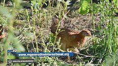 Para Todos La 2-La agricultura regenerativa con los pollos como motor