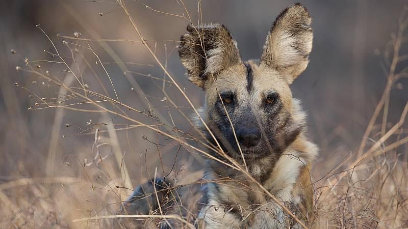 Somos documentales - Perros en territorios de leones - ver ahora