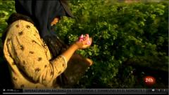 En primer plano: Las mujeres que recolectan rosas en Marruecos