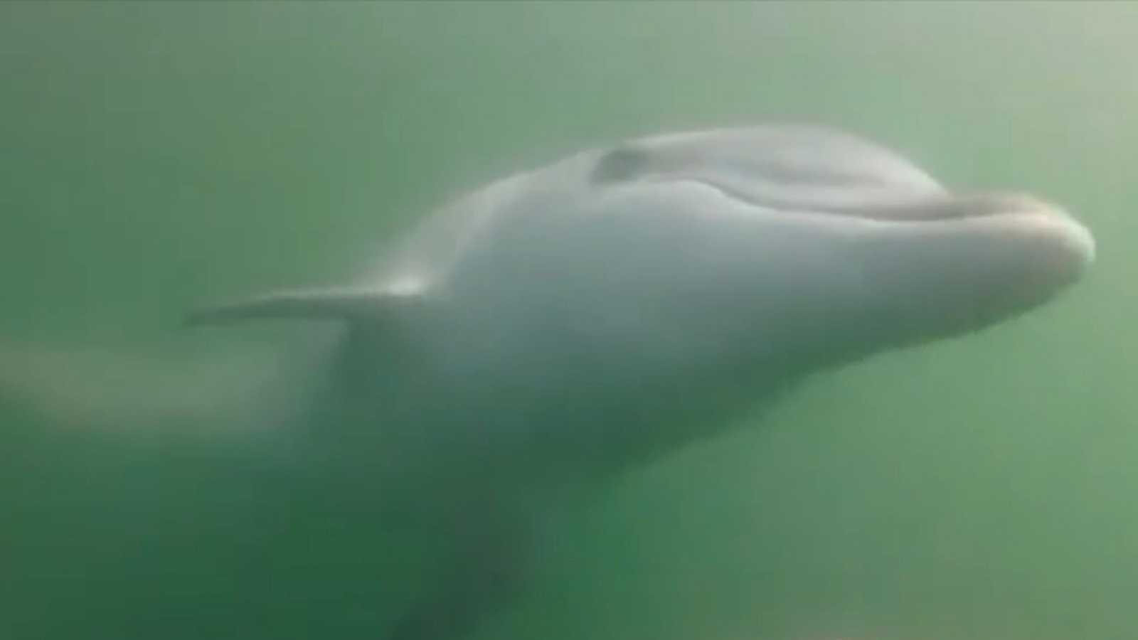 Manoliño, el delfín de la ría de Noia