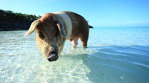 Asombrosos cerdos