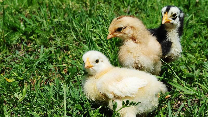 Aquí la Tierra - Castellana negra, andaluza azul, española carablanca... ¿conoces estas razas de gallinas?