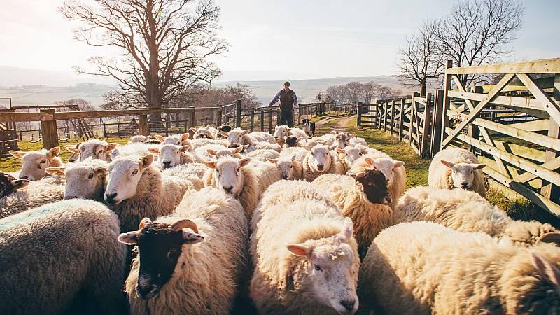 Aquí la Tierra - Un oficio de 365 días al año: así trabajan los pastores