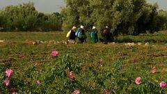 Así se recoge la rosa de Damasco en el Valle de las Rosas de Marruecos