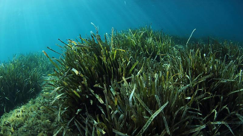 El aumento de la temperatura del Mediterráneo amenaza la posidonia