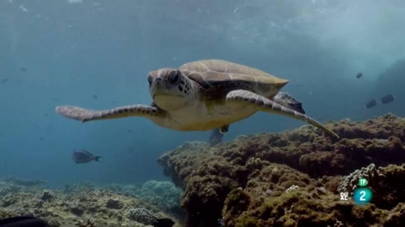 Grans Documentals - La mar Aràbiga: El llegat d'una tortuga - Veure ara