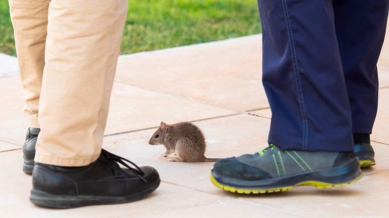 La presencia de una rata desata un revuelo entre los diputados del Parlamento de Andalucía
