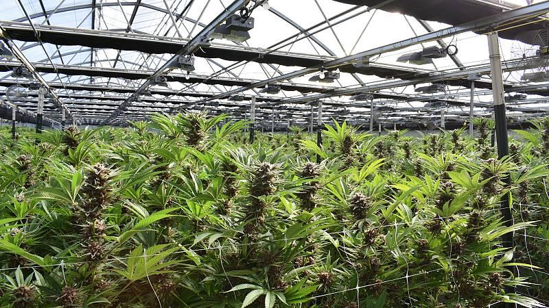 Cannabis: la fiebre del 'oro verde' en Estados Unidos