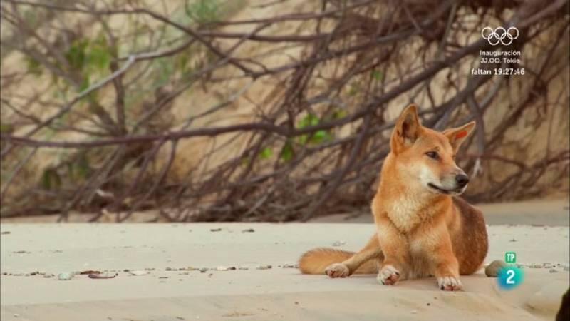 Grans Documentals -  El vincle familiar dels dingos - Veure ara