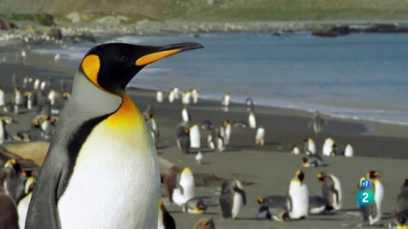 Grans Documentals - El pingüí rei - Veure ara