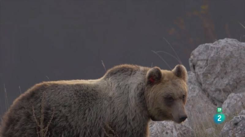 Grans Documentals - Itàlia salvatge. Osos itlians - Veure ara