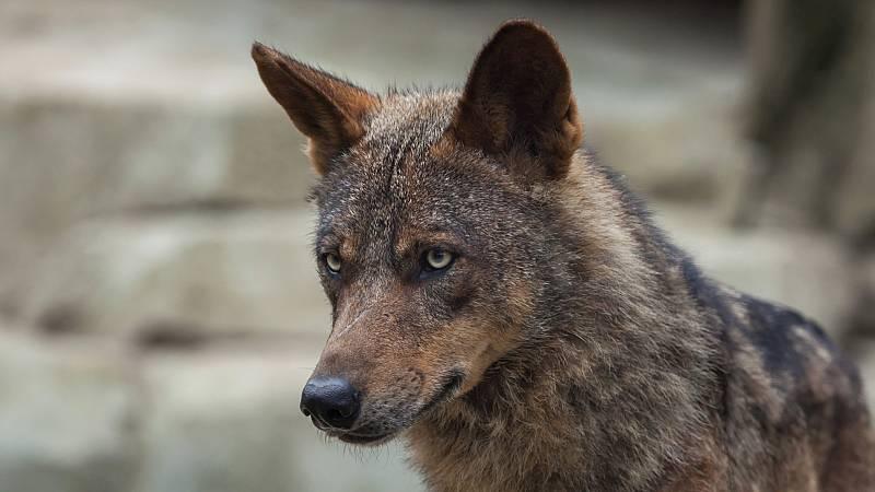Prohibido cazar o lobo