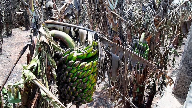 Los cultivos de plátano de La Palma, en peligro por la ceniza y la lava