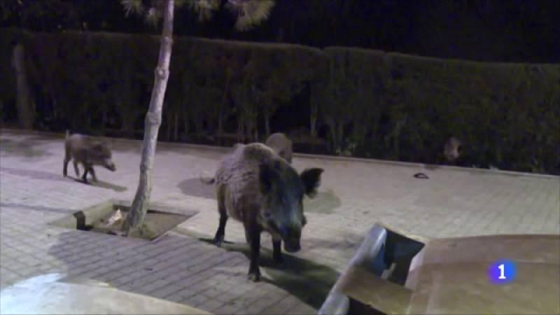 Augmenta la presència de senglars a Barcelona, el setembre es van notificar 171 incidències