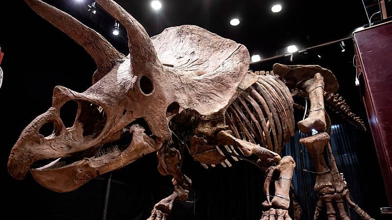Subastan el esqueleto del mayor triceratops descubierto hasta ahora por 6,65 millones de euros