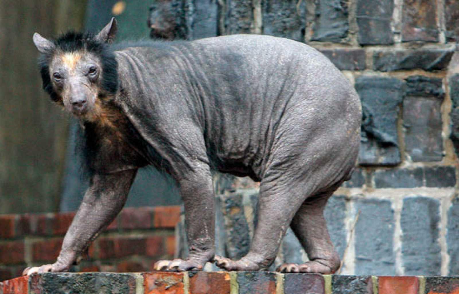 ¿Qué deja a los osos sin pelo?
