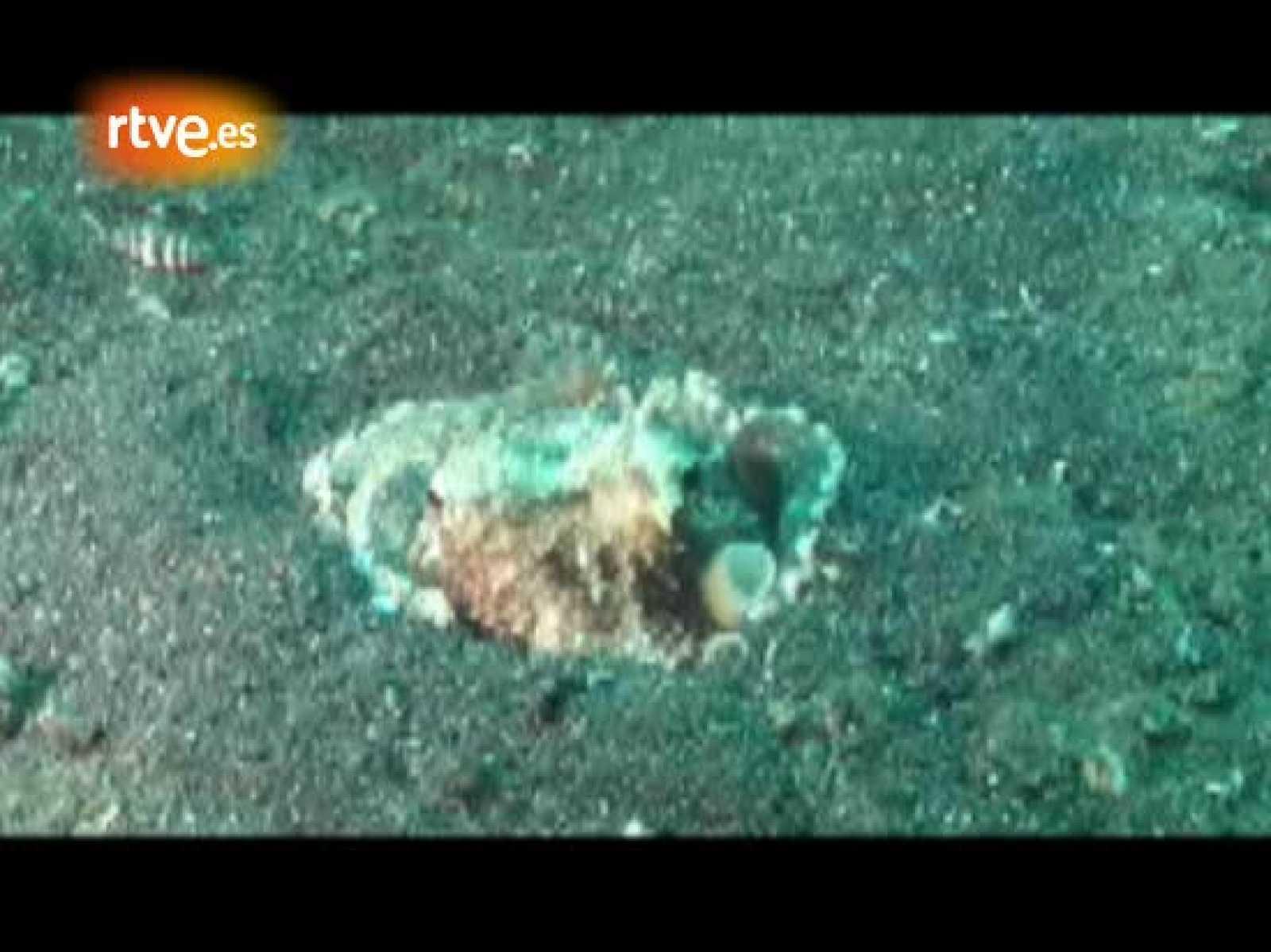 """El biólogo Julian Finn estaba buceando como un día más por la aguas de Sulawesi, en Indonesia, cuando sin esperarlo vio algo que le provocó una carcajada. No pudo evitar que las gafas de buceo se le llenaran de agua y tardó un rato en recomponerse. """""""