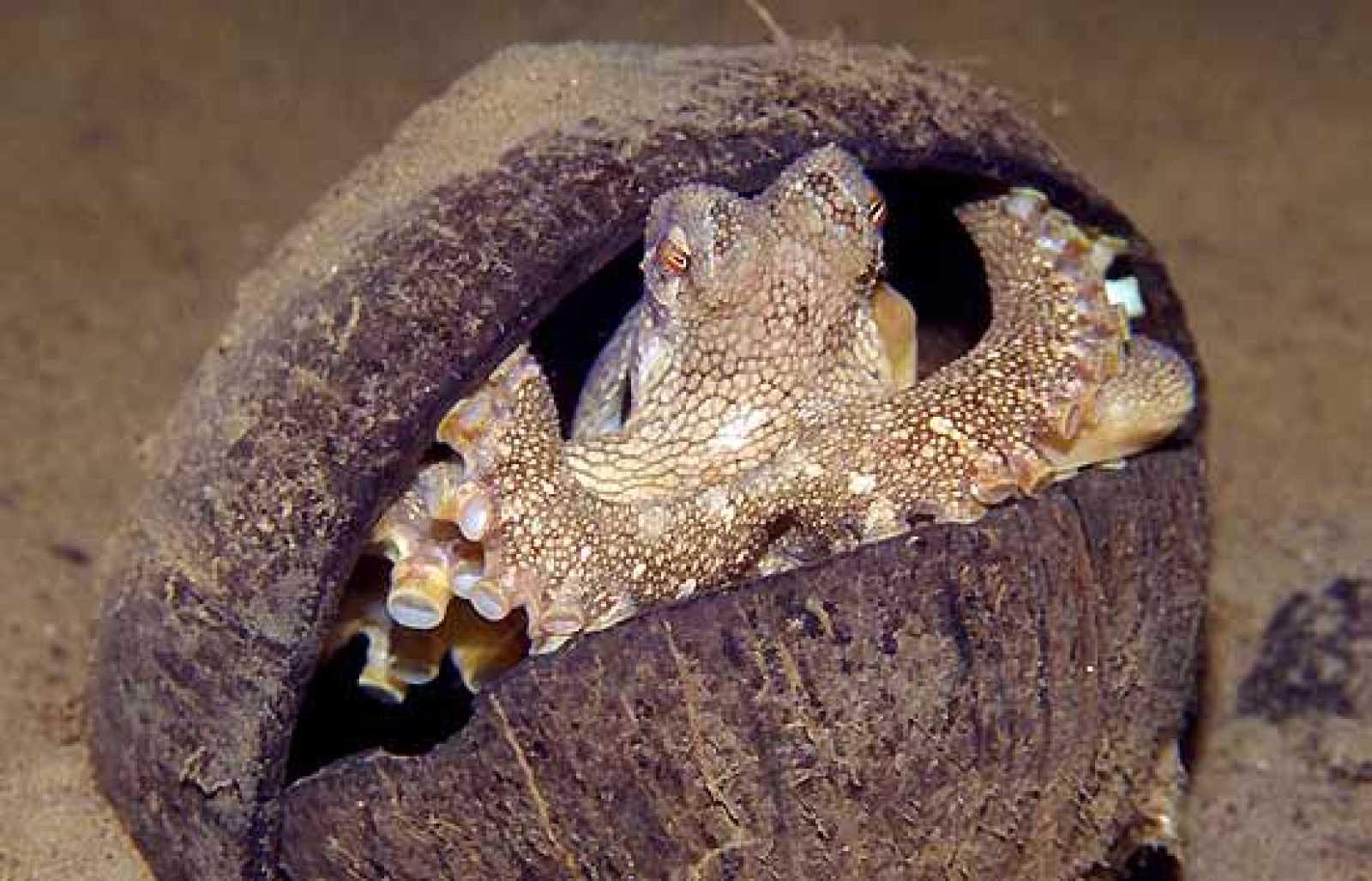 Los Amphioctopus marginatus suelen llevar encima dos cáscaras de coco. Cuando sienten peligro se colocan dentro de una mitad y se tapan con la otra. Es la primera vez que se detecta el uso de herramientas en animales invertebrados. Hasta el momento s