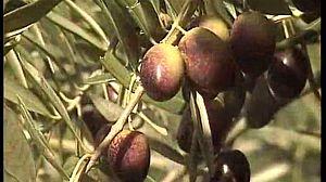 Aceite de oliva DO. Baena