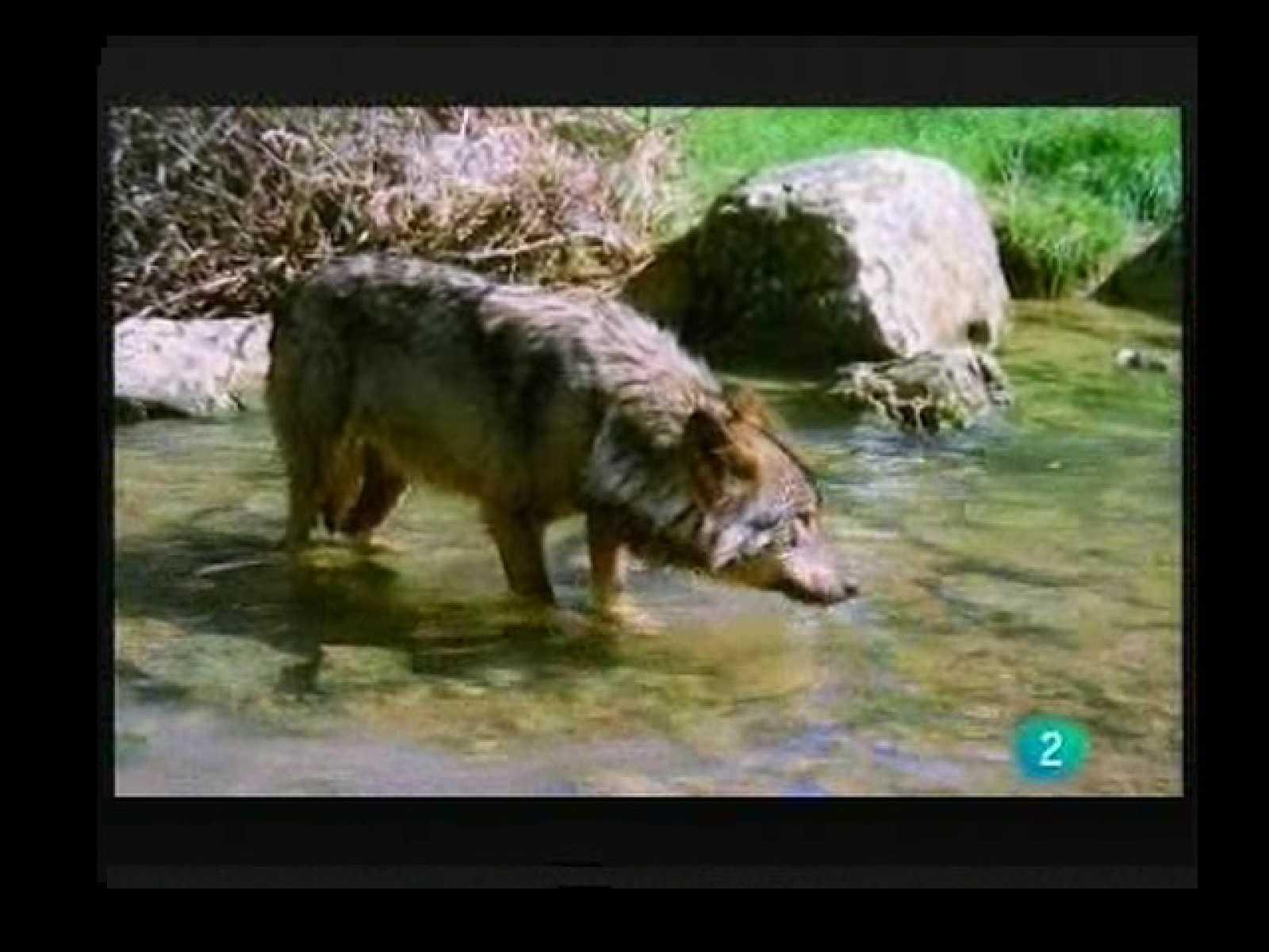 Terra Verda: Os i llop