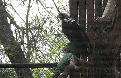 Águilas imperiales ibéricas en un zoológico, por primera vez en la historia