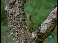 El hombre y la tierra - El 'hormigueo' del pájaro picapinos