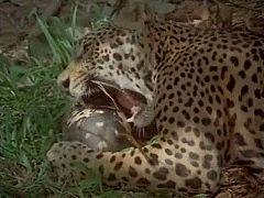 El hombre y la tierra - El Jaguar, el rey de la selva venezolana