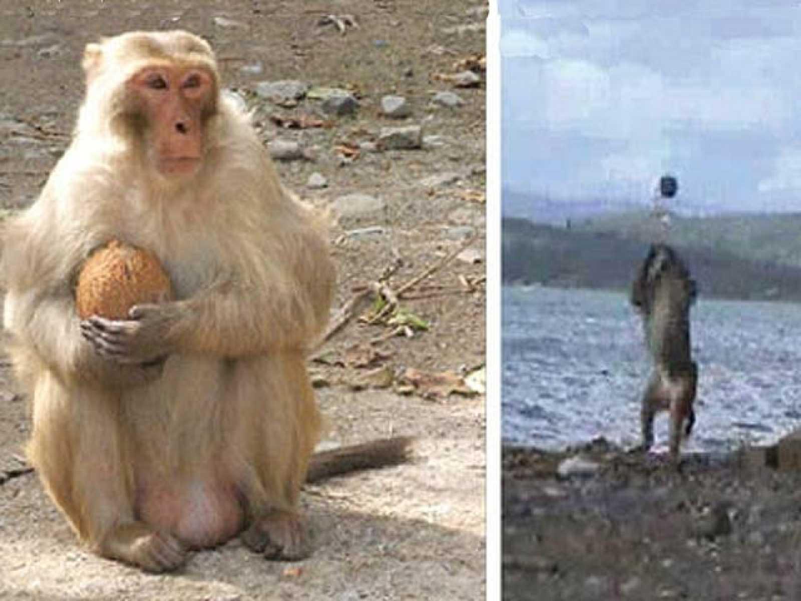 Pinocho, un mono que ha descubierto una forma inédita de abrir cocos