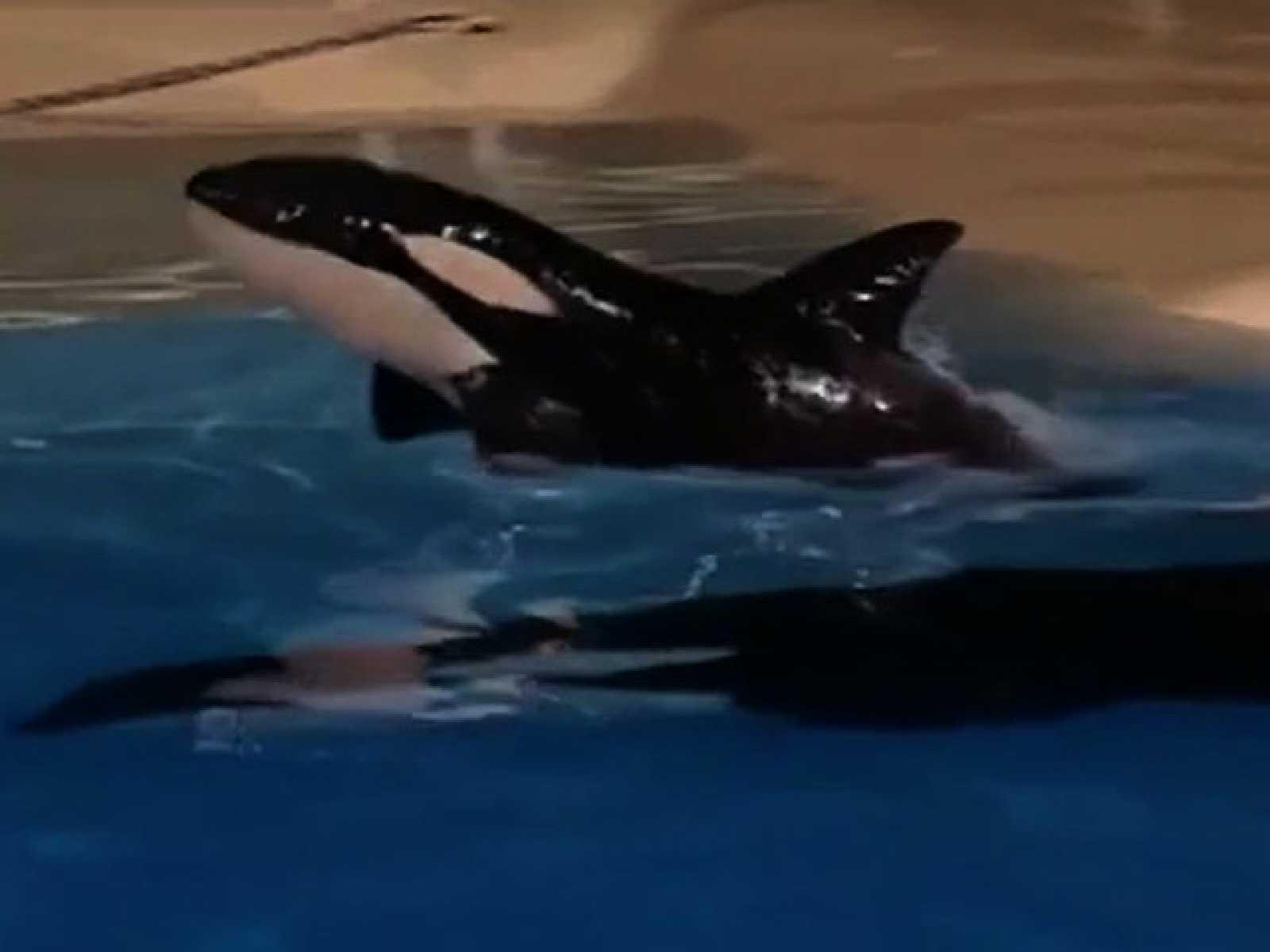 Nace la primera orca en cautividad en España