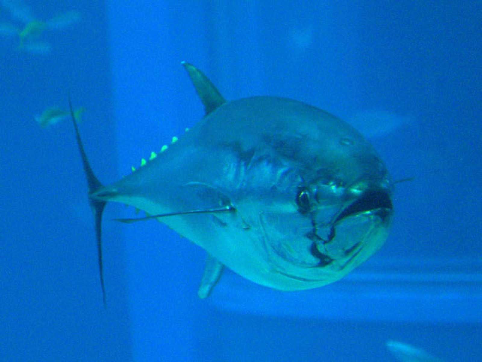 Cría en cautividad del atún rojo, en Murcia