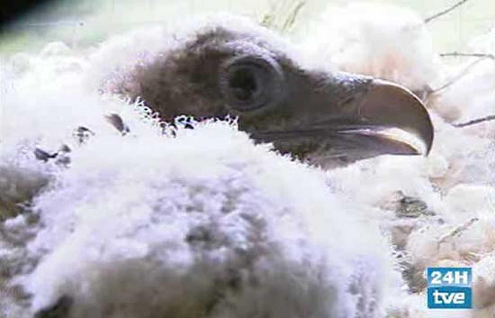 La mayor población de quebrantahuesos existente en Europa vive en el Pirinero Aragonés, donde se intenta recuperar esta rapaz en peligro de extinción. Ya se ha conseguido críar a cuatro polluelos en cautividad (24/05/08).